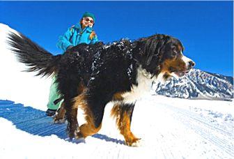 Bernese Mountain Dog Rescue San Francisco