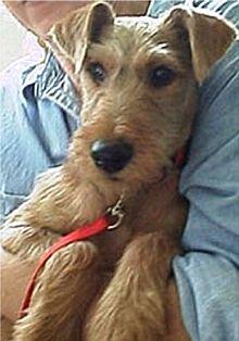 irish terrier  rescue